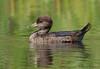 Hooded Merganser juvenile