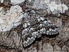 Cascades Panthea Moth, Panthea virginarius - Miracle Beach, Vancouver Island, B.C.