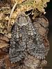 Aspen Carpetworm Moth, Acossus populi - Miracle Beach, Vancouver Island, B.C.