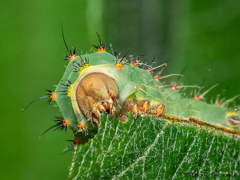 Polyphemus Moth caterpillar chowing down, Antheraea polyphemus - Miracle Beach, Vancouver Island, B.C.