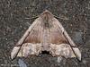 Pero moth, Pero mizon - Miracle Beach, Vancouver Island, B.C.