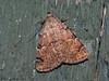 American Idia Moth, Idia americalis - Miracle Beach, Vancouver Island, B.C.