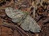 Green Pug Moth, Pasiphila rectangulata - Comox, Vancouver Island, B.C.
