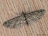 Geometrid moth, Eupithecia sp. - Comox, Vancouver Island, B.C.