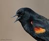 Red-winged Blackbird portrait