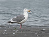 Western Gull (probably a hybrid with Glaucous-winged Gull)
