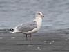 Iceland Gull (Thayer's Gull)