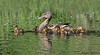 Mallard female and chicks
