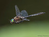 American Emerald, Cordulia shurtleffii in flight - Little River