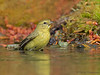 Orange-crowned Warbler bathing