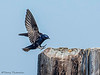Purple Martin male landing