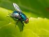 Blue Bottle Fly, Calliphora vomitoria - Gartley Point, Royston