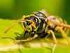European Paper Wasp, Polistes dominula grooming - Gartley Point, Royston