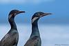 Brand's Cormorants