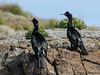 Pelagic Cormorants