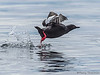 Pigeon Guillemot taking off