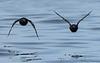 Pigeon Guillemots in flight