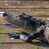 Alligator taking in the Sun
