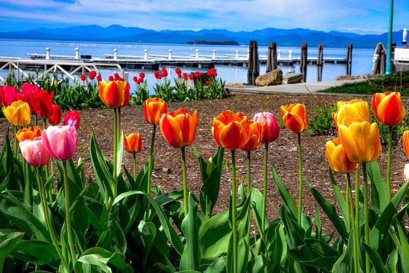Tulips in Vermont