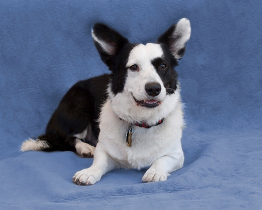 My name is Jazz and I'm a Cardigan Corgi.