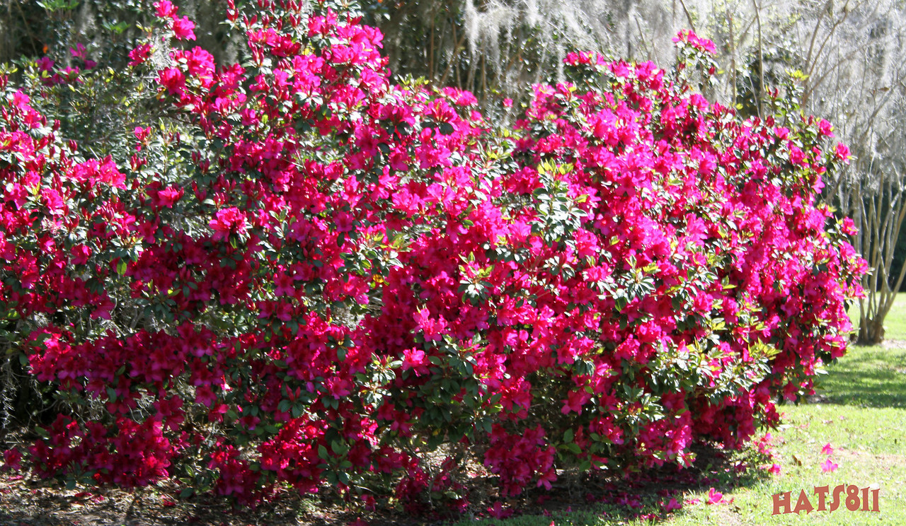 Azalea Plants Ridge Manor Fl<br /> April 01 2010