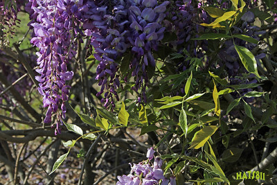 Wisteria in Dade City Fl April 2010