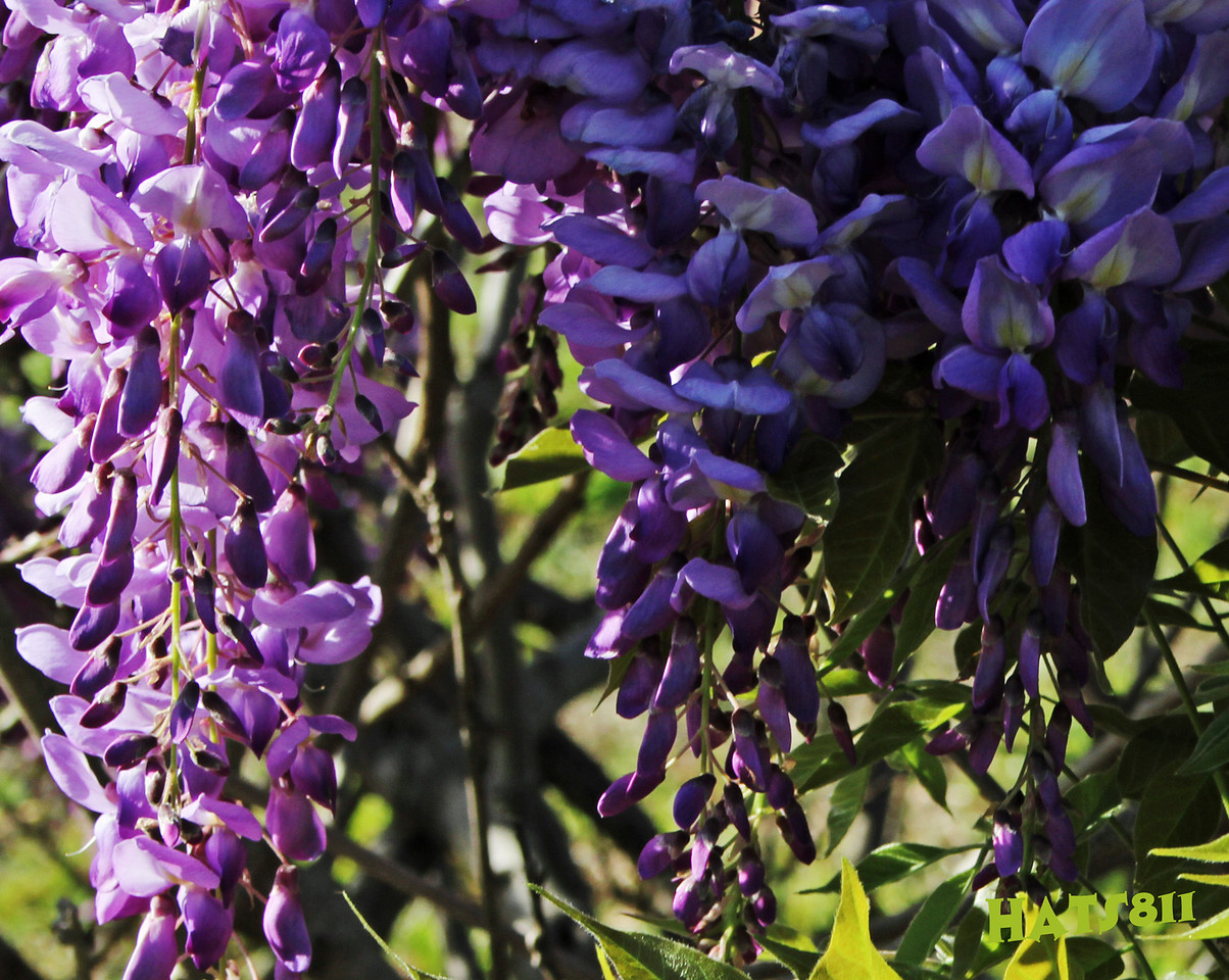 Wisteria in Dade City Florida April 2010