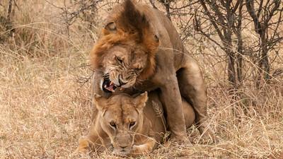 Lions mating, Tarangire N.P., Tanzania.