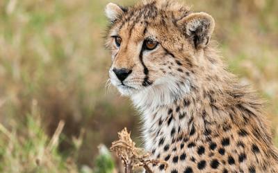 Cheetah cub, Serengeti N.P., Tanzania.