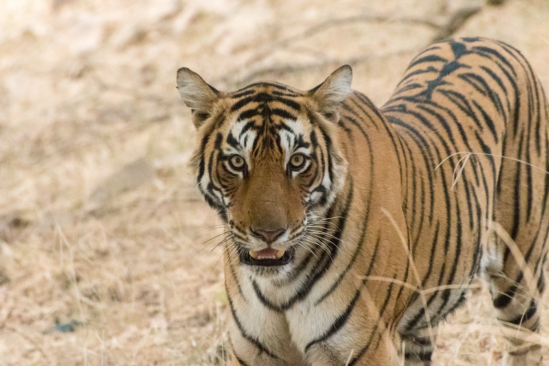 "We had a close encounter with a Bengal tiger named ""Arrowhead"" in Ranthambore National Park, India."
