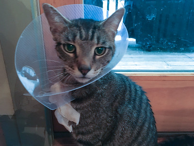 Sebastian had to wear this collar for two weeks after surgery to repair the wound on his face.  He was bummed :-(