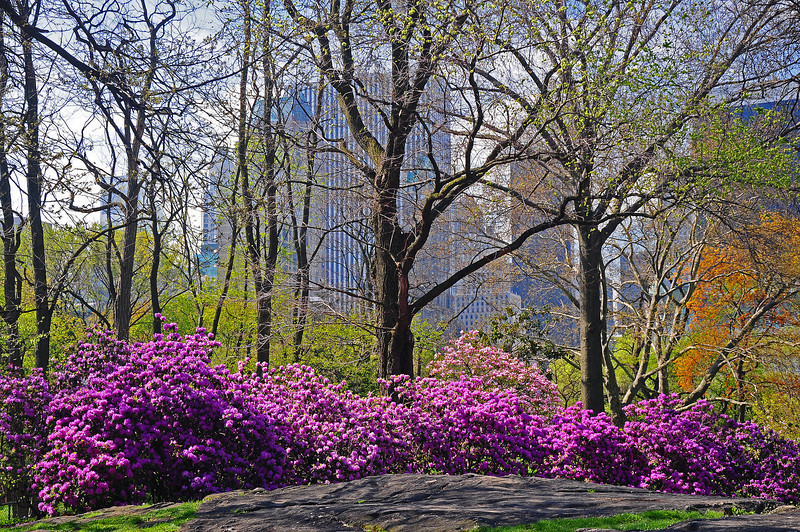 Spring Blossoms in Central Park - 2009