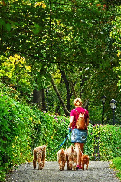 Dog walking in Central Park - 2008