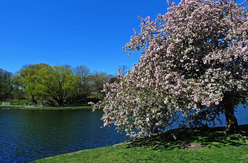 Tree along Harlem Meer - Central Park - 2012