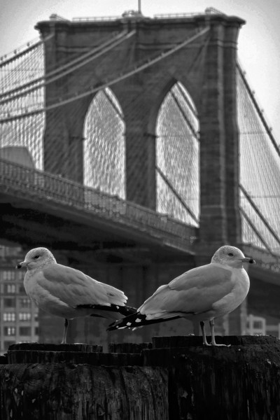 Birds and Brooklyn Bridge - 2008