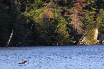 Common Loon on the Oswegatchie River