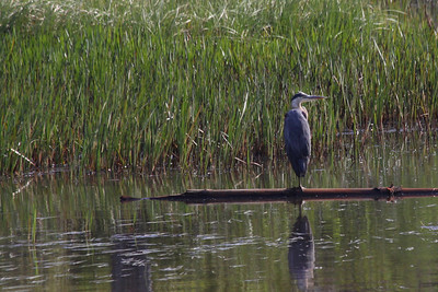 Little River Great Blue Heron