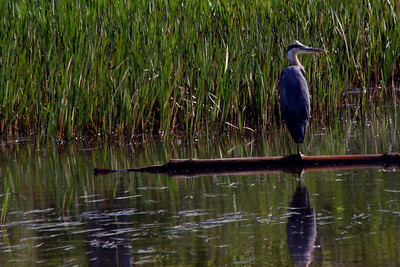 great blue heron on Little River, Star Lake, NY