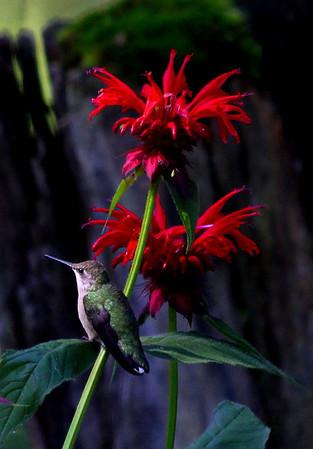 Ruby-throated hummingbird and bee balm