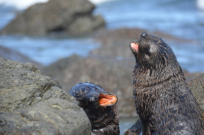 2012 Cape Paliser Seals