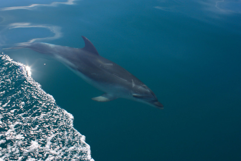 Dolphin off the coast of the Auckland Bay.