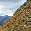 Sheep frolicking atop mountains in Mt. Aspiring National Park, New Zealand