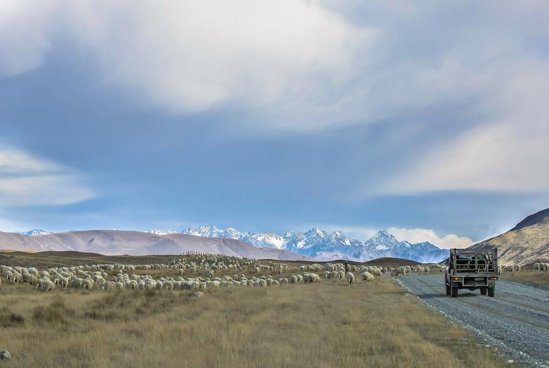 Sheep crossing in Canterbury, New Zealand.