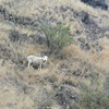 Spotted by a sheep on the side of Mt. Pleasant Scenic Reserve via the Christchurch Gondola, Christchurch, New Zealand.