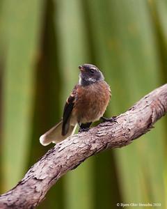 Piwakawaka/ New Zealand Fantail / Maoriviftestjert (Rhipidura fuliginosa).
