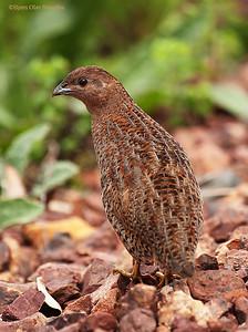 Brown Quail (Coturnix ypsilophora)