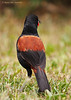North Island Saddleback (Philesturnus rufusater)