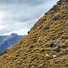 Sheep frolicking atop mountains in Mt. Aspiring National Park, New Zealand