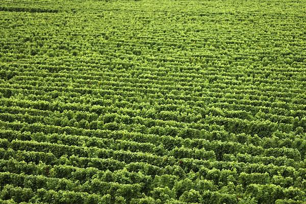 Vineyard, Wairau Valley, Blenheim, Malborough, New Zealand