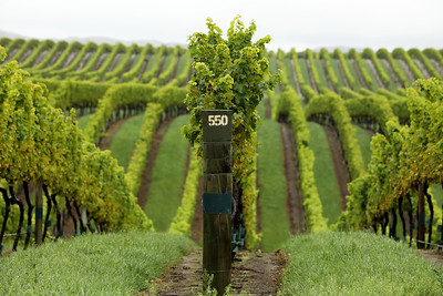 Yealands Estate Vineyard, Seddon, Malborough, New Zealand